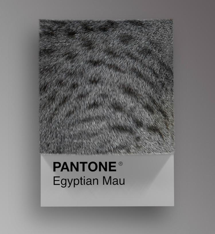 Pantone - Razas gatos D'Amico
